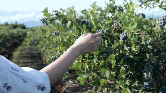 woman walking through blueberries farm with hand touching - bush stock videos & royalty-free footage