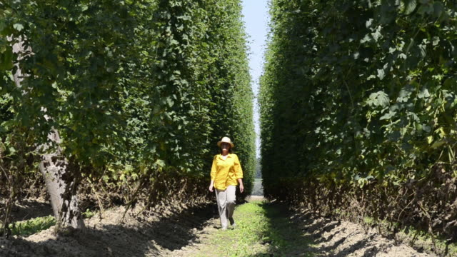 ms woman walking through field of hops for quality check / mainburg, bavaria, germany - hops crop stock videos and b-roll footage