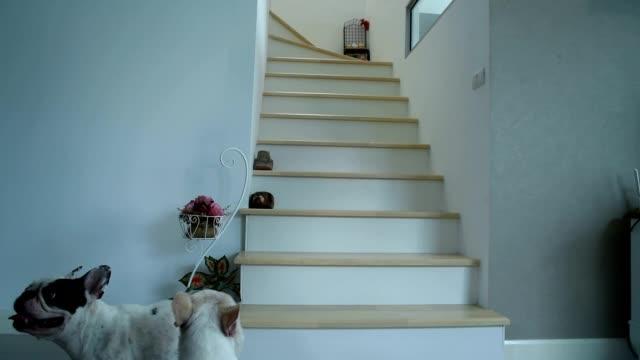 3 フレンチ ブルドッグの手順の上歩いて女性。 - steps and staircases点の映像素材/bロール