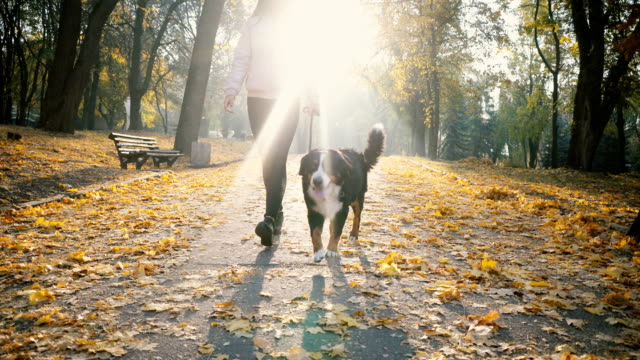 woman walking with dog in park in autumn - dog walking stock videos & royalty-free footage