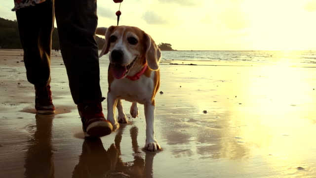 woman walking with dog on the beach slow motion - beagle stock videos & royalty-free footage