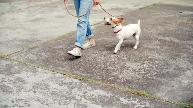 vidéos et rushes de femme qui marche avec son chien-jack russell terrier - femme soumise