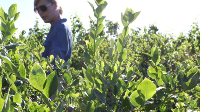 woman walks by blueberry bushes, plucks and eats one - eyewear stock videos & royalty-free footage