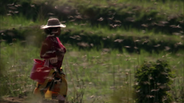 woman walks through swarm of locusts (locusta migratoria) on farmland, madagascar - schädling stock-videos und b-roll-filmmaterial