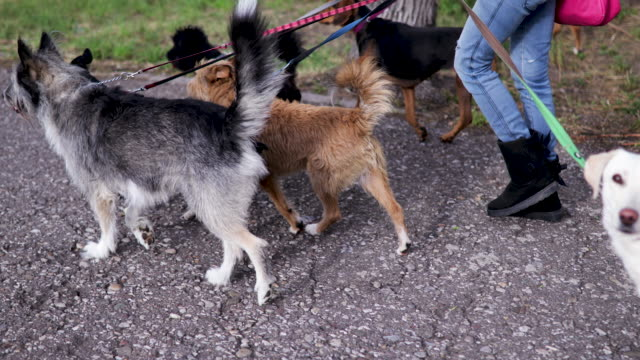 woman walks with dogs tied to a leash - dog walking stock videos & royalty-free footage