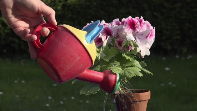 stockvideo's en b-roll-footage met a woman watering a blooming geranium - gieter