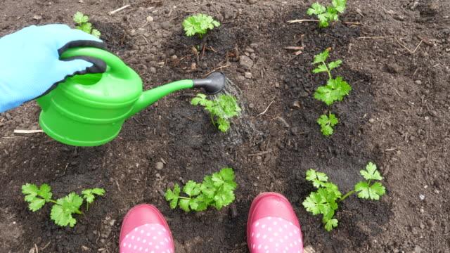 stockvideo's en b-roll-footage met woman watering celery seedling - gieter
