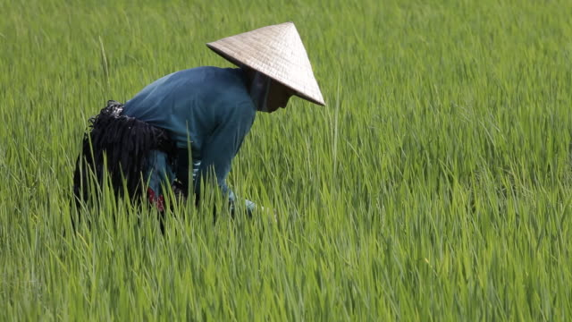 a woman wearing a conical hat works in a rice field. - 農林水産関係の職業点の映像素材/bロール