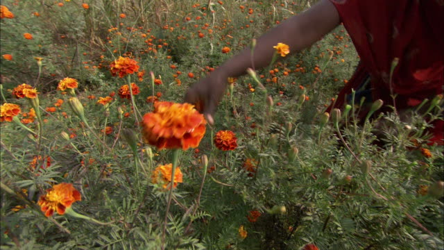 A woman wearing a sarong picks marigolds in a meadow.