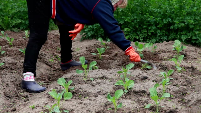 Woman weeding the cabbage plants in the garden