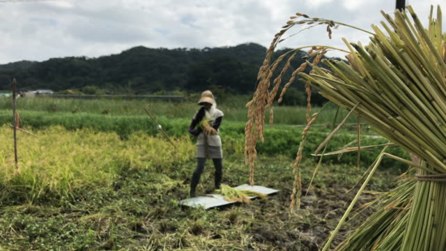 a woman who works hard to harvest - satoyama scenery stock videos & royalty-free footage