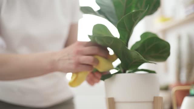 vídeos de stock e filmes b-roll de woman wipes dust from plant - limpar o pó