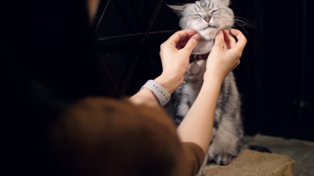 woman with american shorthair cat , slow motion - shorthair cat stock videos and b-roll footage