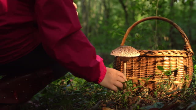 ms woman with basket harvesting mushrooms in forest - foraging stock videos & royalty-free footage