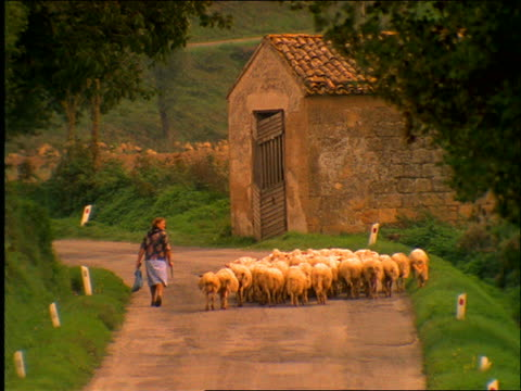 vídeos y material grabado en eventos de stock de woman with flock of sheep walking on dirt road / tuscany / italy - toscana
