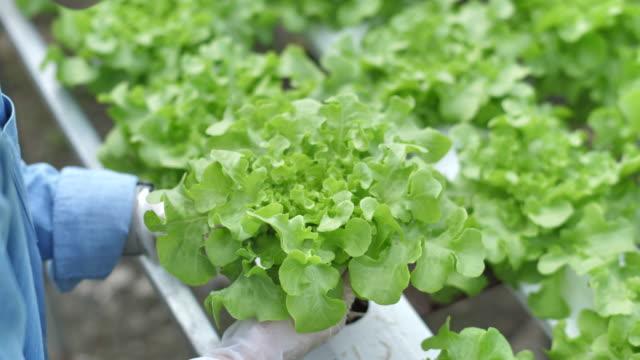 vidéos et rushes de récolte de travail de femme dans la ferme de culture hydroponique - salade verte