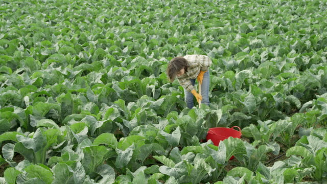 vidéos et rushes de ws woman working in cabbage field - crucifers