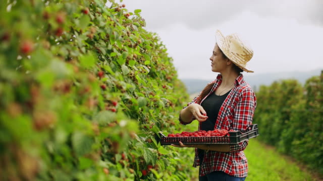 vidéos et rushes de femme travaillant dans la plante de framboise sur une journée chaude et ensoleillée d'été - membres du corps humain