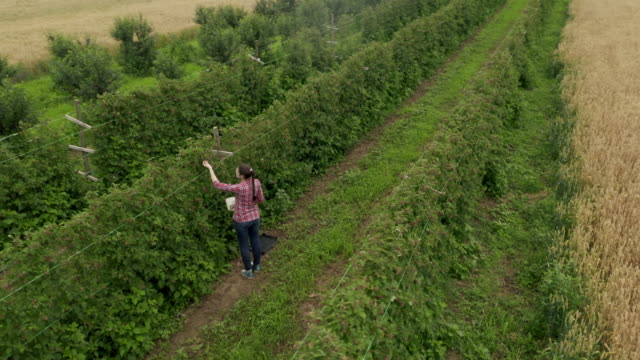 woman working in raspberry plant on a warm and sunny summer day - raspberry stock videos & royalty-free footage