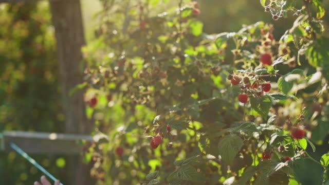 vidéos et rushes de femme travaillant dans la plante de framboise sur une journée chaude et ensoleillée d'été - cueillir