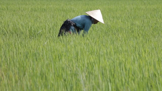 vídeos de stock e filmes b-roll de a woman works in a rice field in ho chi minh city, vietnam. - vietname do sul