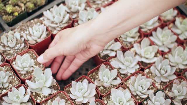 cu woman's hand arranging succulents - succulent plant stock videos & royalty-free footage