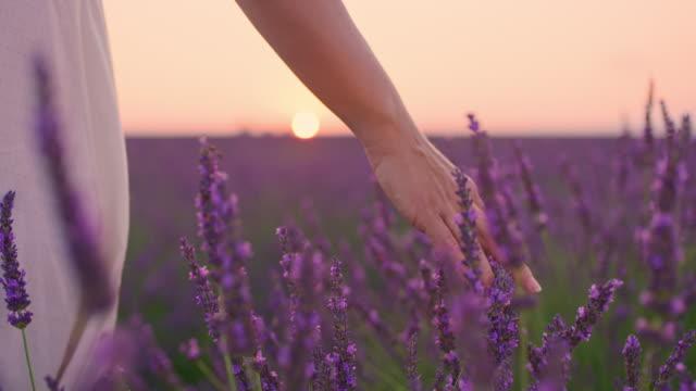 vidéos et rushes de la main de la femme de la cu caressant des fleurs de lavande au crépuscule - caresser