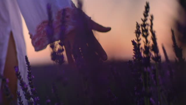la cu woman's hand caressing lavender flowers at dusk - elegance stock videos & royalty-free footage