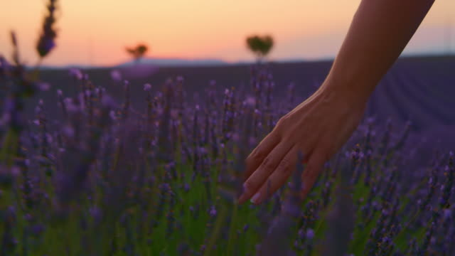 la cu woman's hand caressing lavender flowers - stroking stock videos & royalty-free footage