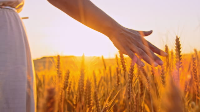 ms woman's hand caressing wheat ears in the field at sunset - wheat stock videos & royalty-free footage
