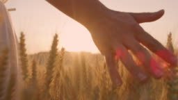 MS Woman's hand caressing wheat ears in the field with wind turbines in the distance