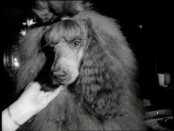 woman's hand powders a large poodle's nose. - kroppsvård bildbanksvideor och videomaterial från bakom kulisserna