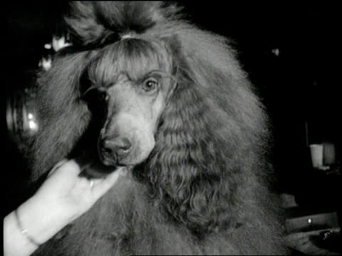 stockvideo's en b-roll-footage met a woman's hand powders a large poodle's nose - lichaamsverzorging