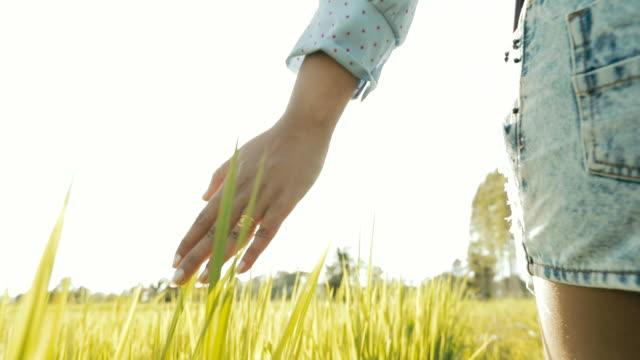 Frau Hand streicheln und liebkosen Reife Reis Pflanze bei golden sunrise