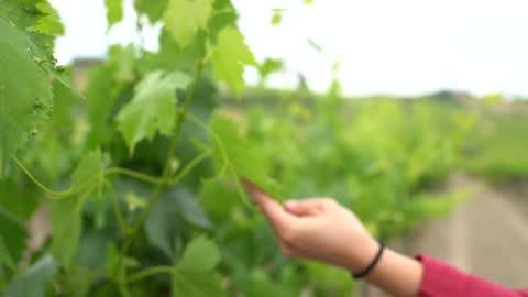 vidéos et rushes de woman's hand touching green vine leaf, slow motion - personnes féminines