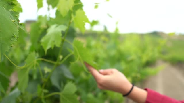 woman's hand touching green vine leaf, slow motion - pest stock videos & royalty-free footage
