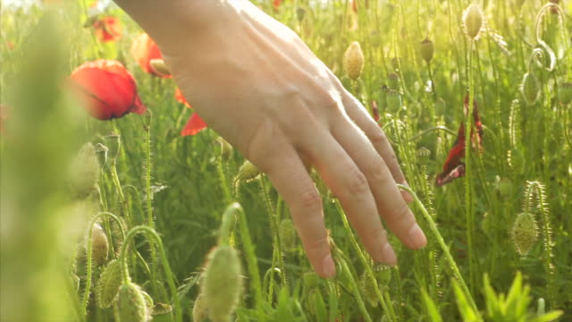 Woman's hand touching poppy.