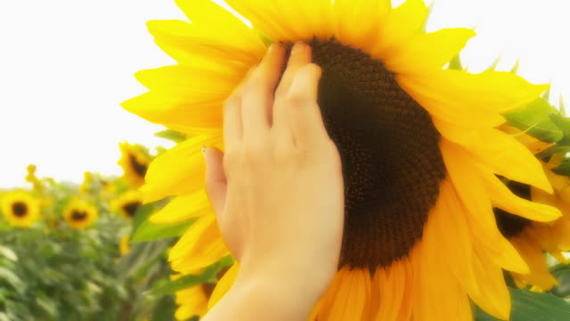 HD DOLLY: Woman's Hand Touching Sunflower