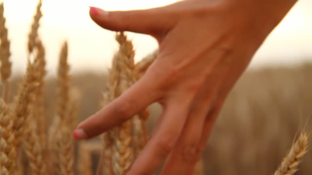 hd slow motion: woman's hand touching wheat - ripe stock videos and b-roll footage