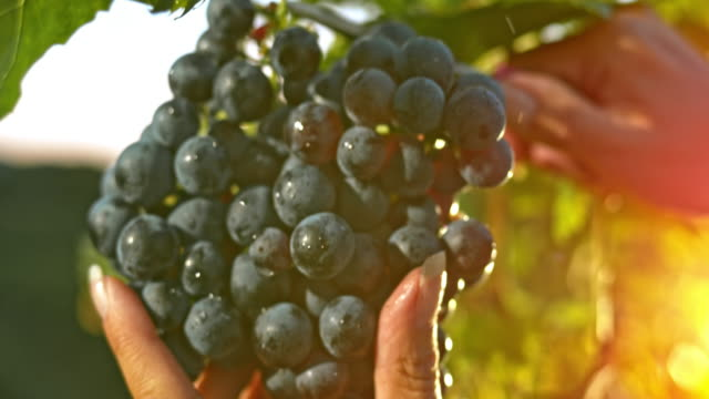 slo mo woman's hands cutting grape at sunset - grape stock videos & royalty-free footage