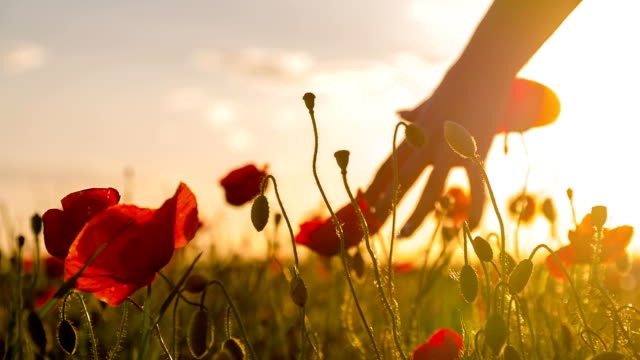 stockvideo's en b-roll-footage met slo mo woman's hands touching poppy at sunset - weide