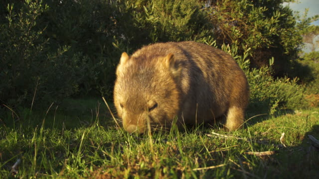 a wombat eating in a field - 有袋類点の映像素材/bロール