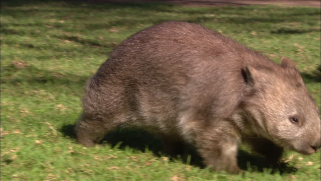 MS Wombat sniffing around grass, Sydney, New South Wales, Australia