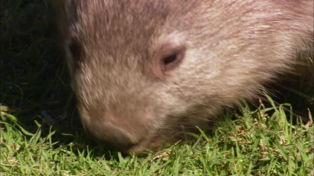 a wombat sniffs around grass. - beuteltier stock-videos und b-roll-filmmaterial