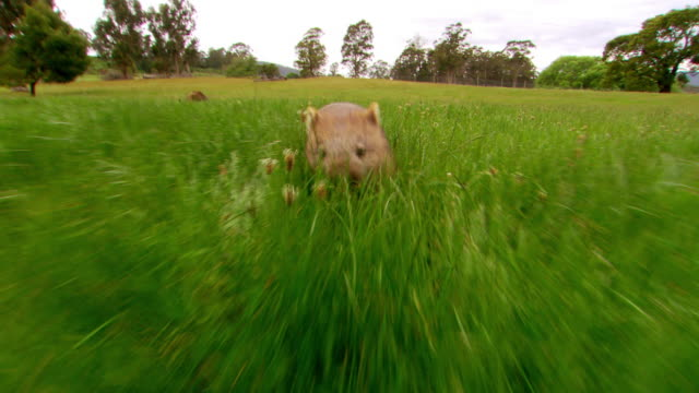 vidéos et rushes de a wombat trots through grass. - mammifère