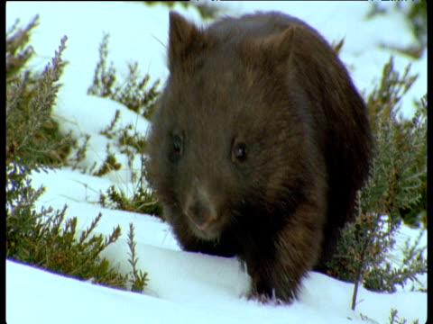 Wombat trudges over snow in Australian alps, New South Wales