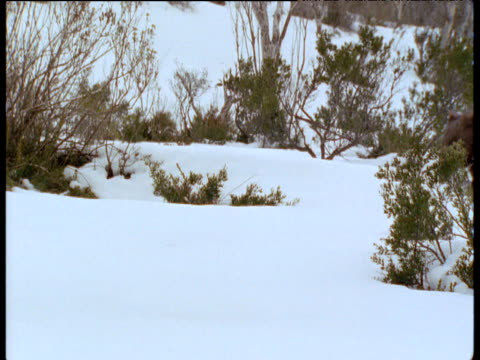 Wombat waddles over snow in Australian Alps, New South Wales