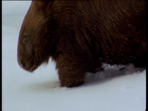 Wombat walks through snow in Australian Alps, New South Wales