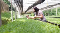 Women farmer controlling and checking organic vegetable in Greenhouse
