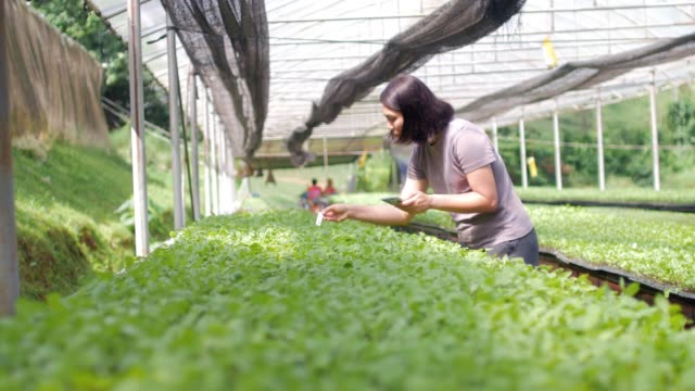 women farmer controlling and checking organic vegetable in greenhouse - responsibility stock videos & royalty-free footage